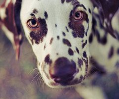 Aww I miss my brown spotted Dalmation.