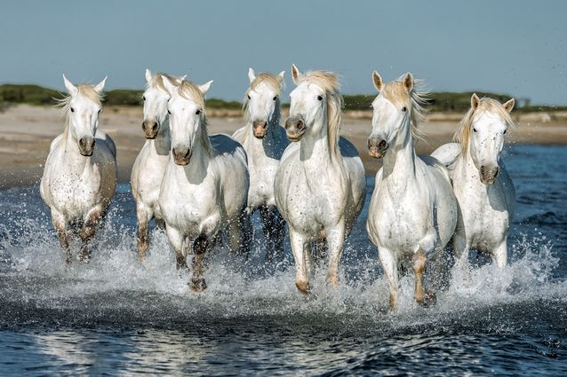 15 Feral Horse Colonies From Around The World Camargue Horse Horse Galloping Horses