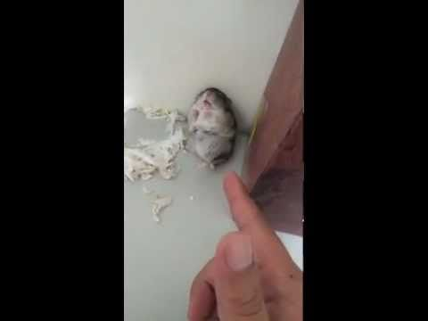 Adorable Hamster gets Shot and pretends to be dead.