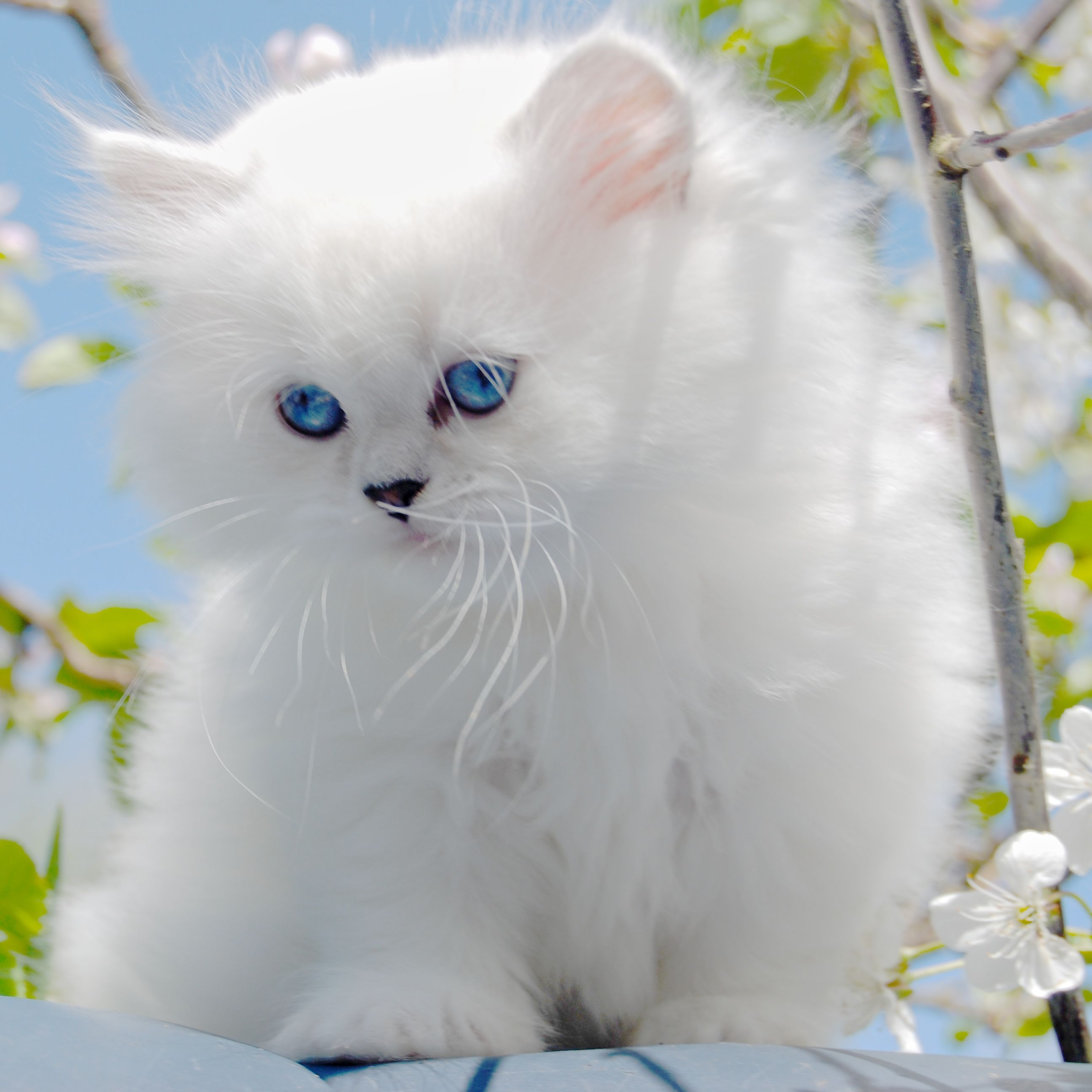 Belle Ayr Snow Lily Our Silver Shaded British Longhair Ns1133 Blh Cute Cats And Dogs British Shorthair Cats Cats And Kittens