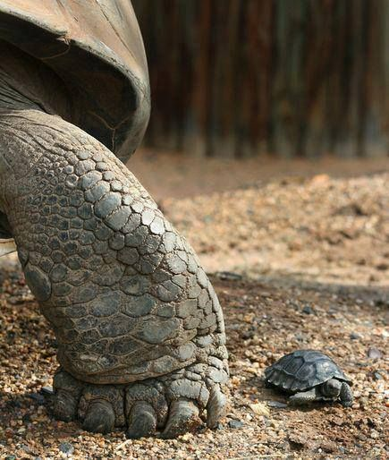 Mommy You Re Too Fast And It Makes Me Worry About You Stomping On Me Babyschildkrote Babyschildkroten Schildkrote