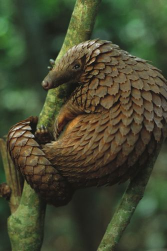 Pangolins Are Covered In Tough Overlapping Scales They Are Able