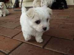Pure Maltese X2 Puppies For Sale Bendigo Victoria Maltese