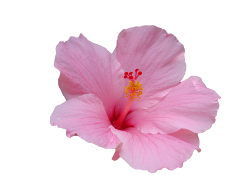 Pink Transparent Hibiscus Hibiscus Drawing Transparent Flowers Flowers