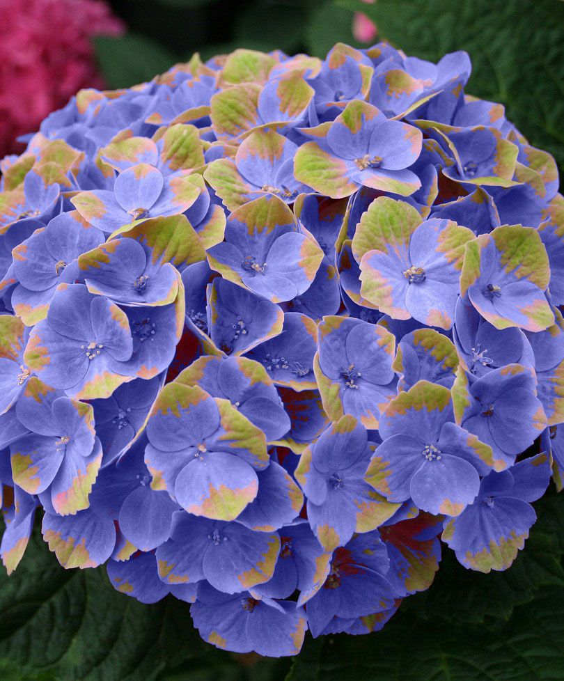 Hydrangea Magical Amethyst Blue Trees And Shrubs From Bakker Spalding Garden Company Peonies And Hydrangeas Planting Hydrangeas Beautiful Flowers