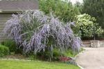 Plant Select – Colorado Xeriscape Plants – Buddleia alternifolia 'Argentea' - Silver Fountain Butterfly Bush