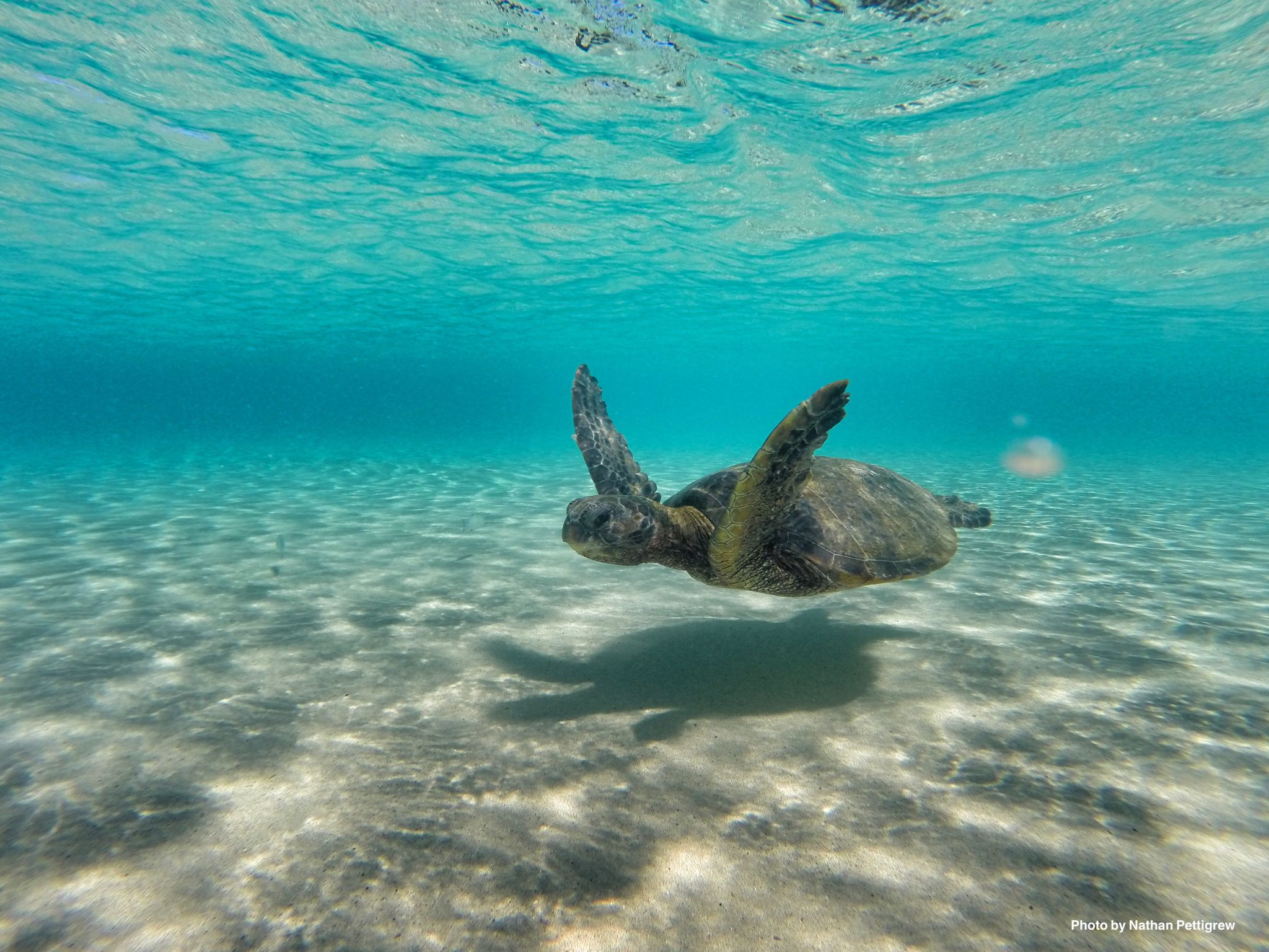 The ever present Green turtles. Hawaii.