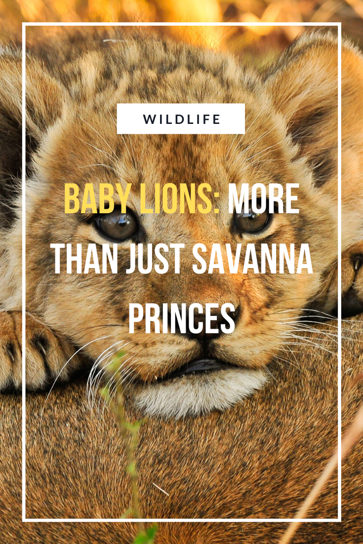 Baby Lions More Than Just Savanna Princes African