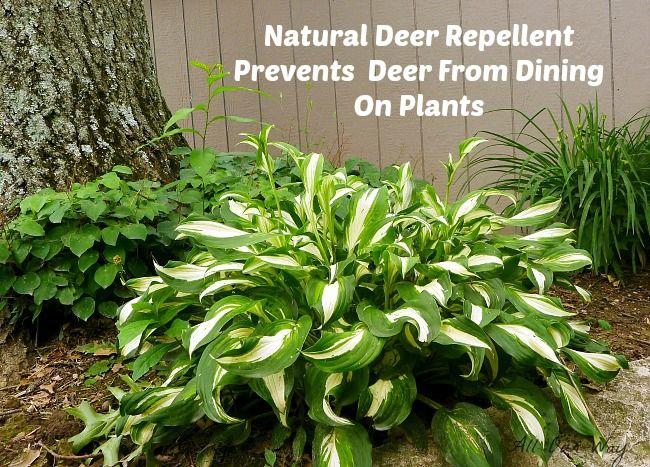 Battle With The Deer A Natural Deer Repellent Deer Resistant Garden Deer Repellant Deer Repellant Plants