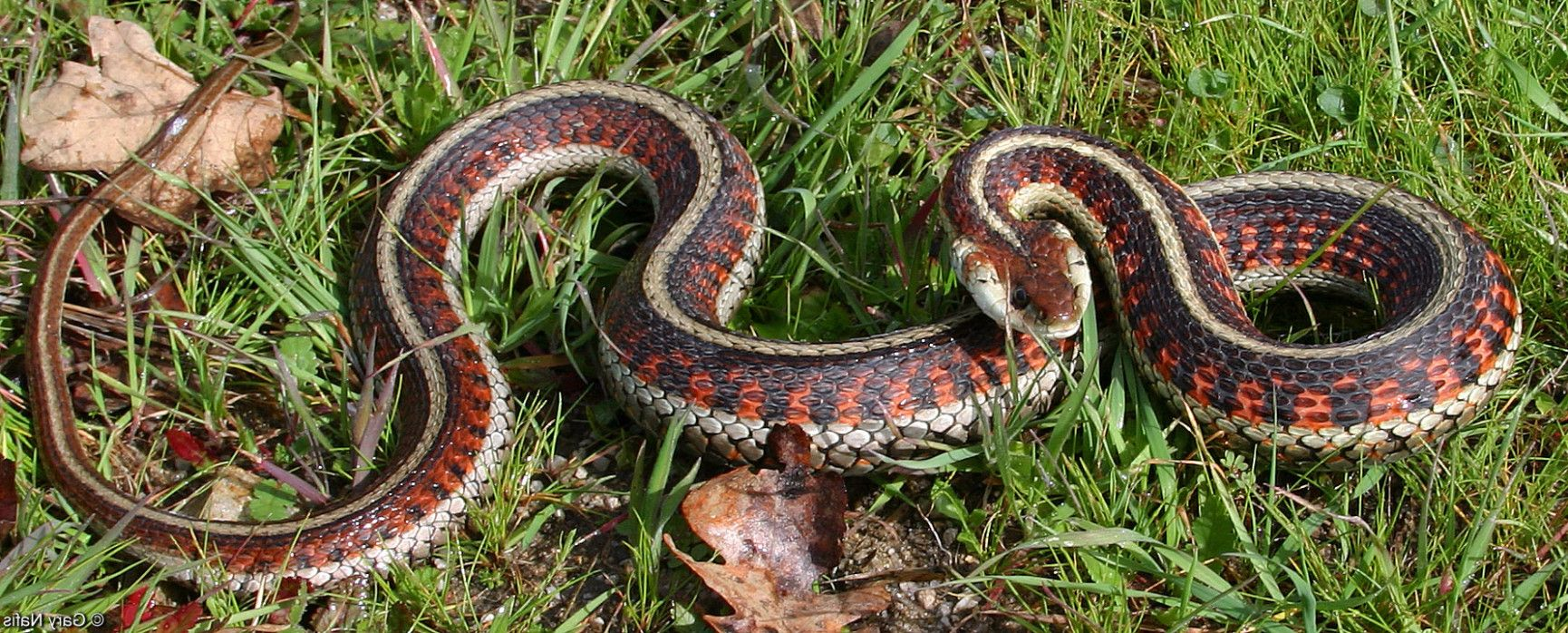 Quiz How Much Do You Know About Garter Snake Coloring Page