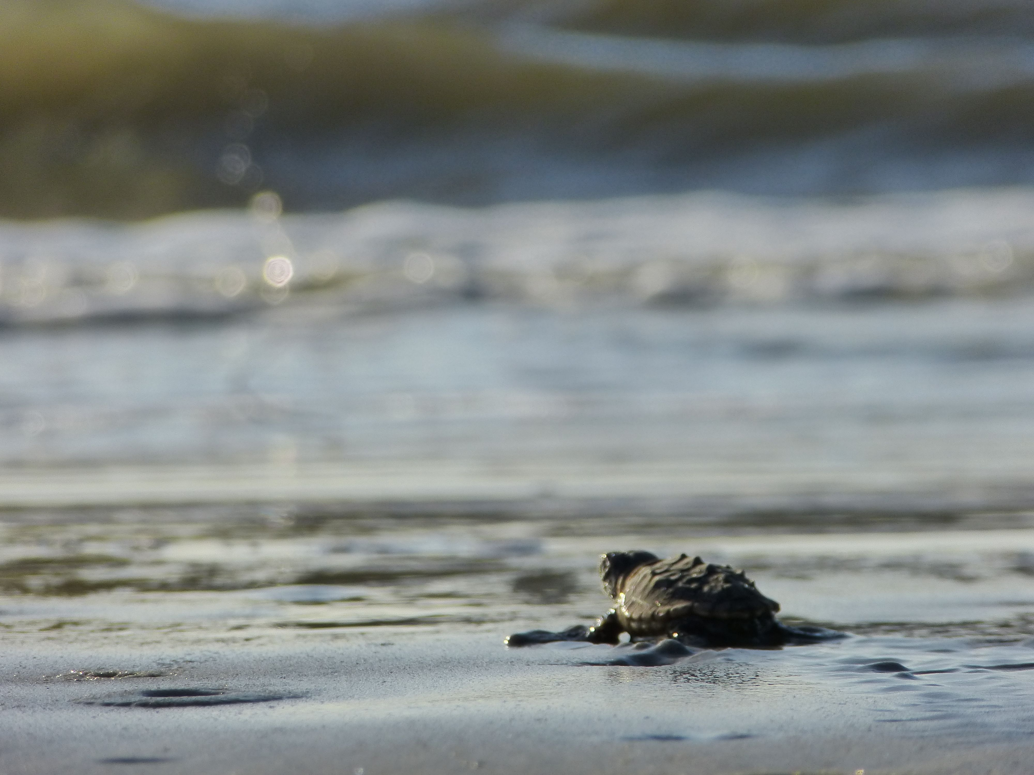 Threatened Loggerhead Sea Turtles Are Nesting In Record