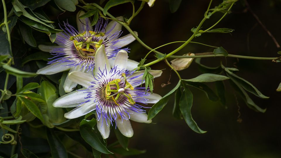 How To Plant Grow And Harvest Passionflowers Passion Flower Plants Fast Growing Vines