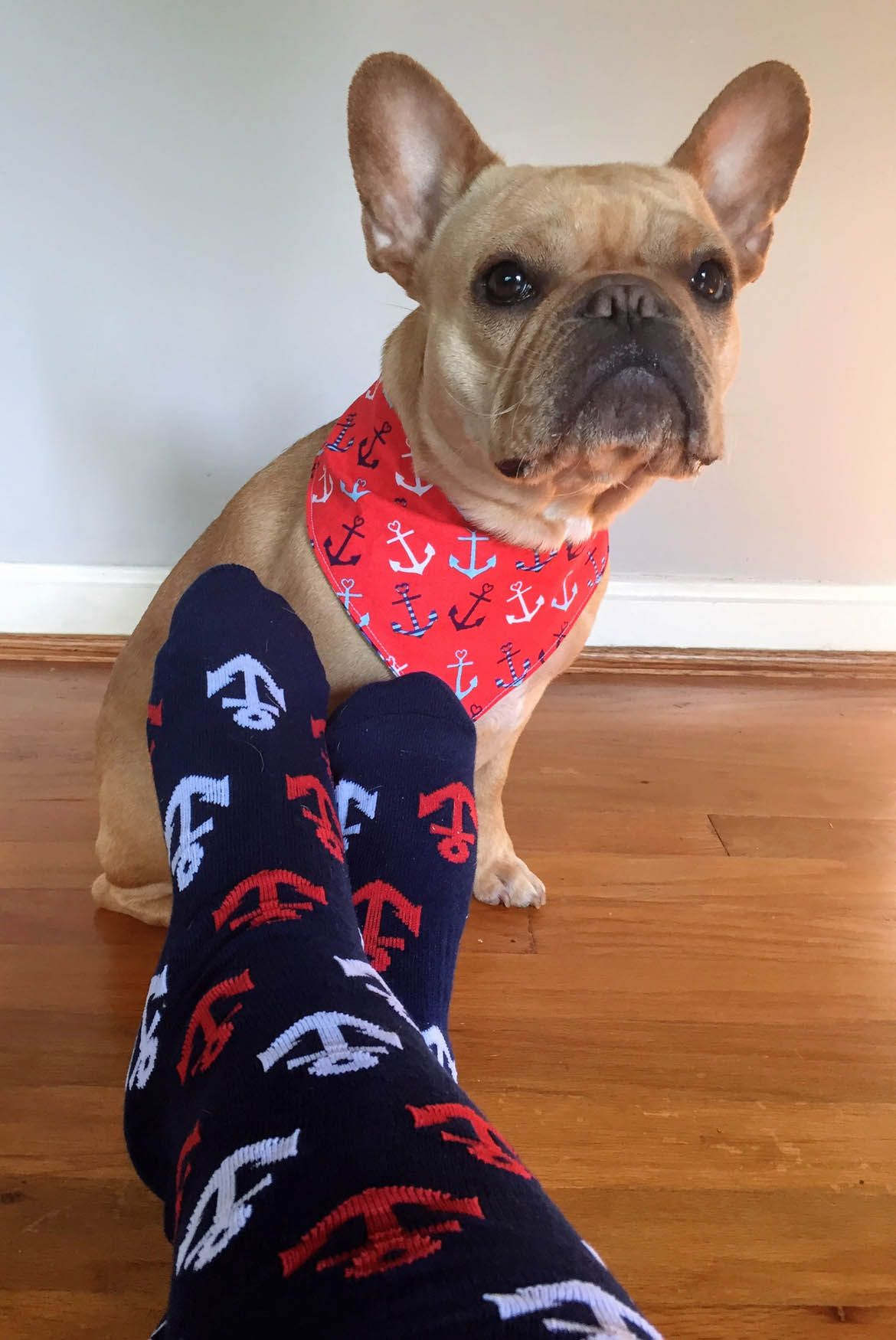 Review K Bell Socks Kbellsocks Kbsockgame Frenchbulldog French Bulldog Terrier Mix Boston Terrier