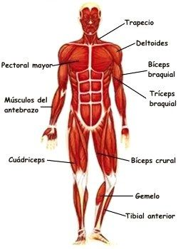 Dibujos Del Sistema Muscular Y Sus Partes Sistema Muscular