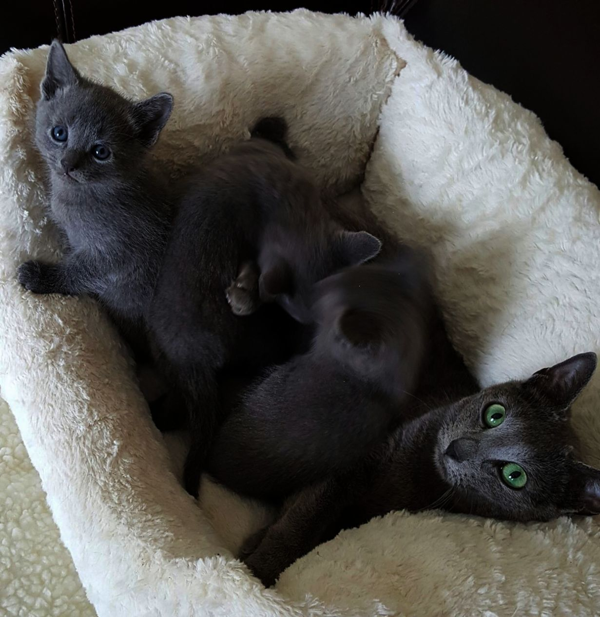Russian Blue Cats And Kittens For Sale In The Uk Pets4homes