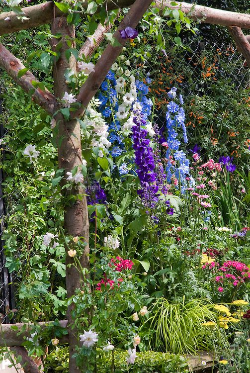 Delphiniums, Climbing Roses Rosa On Trellis Arbor Of Rustic Wood, Cottage  Garden Design With
