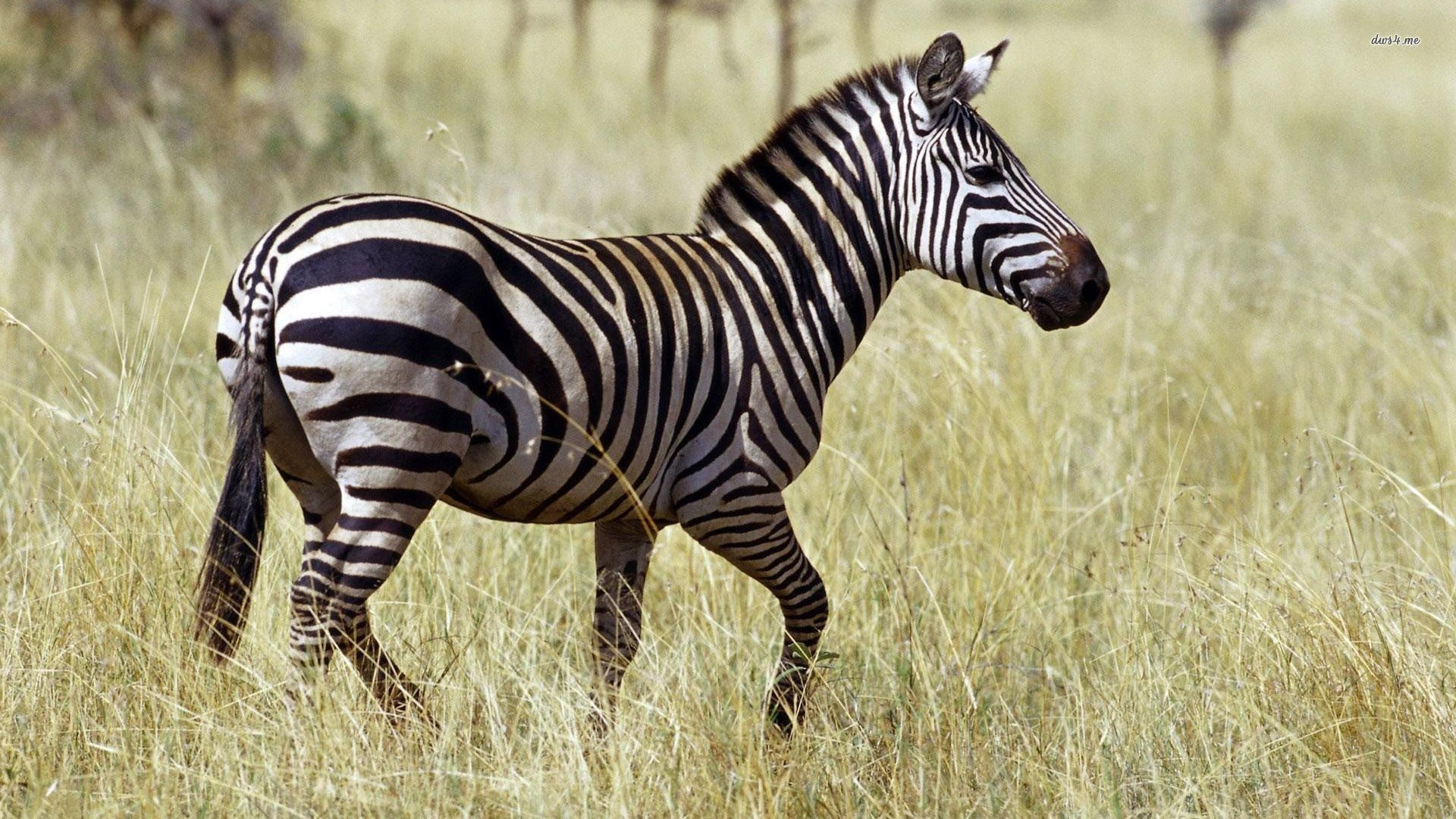 zebra images wallpapers hd Zebra wallpaper, Zebra, Wallpaper