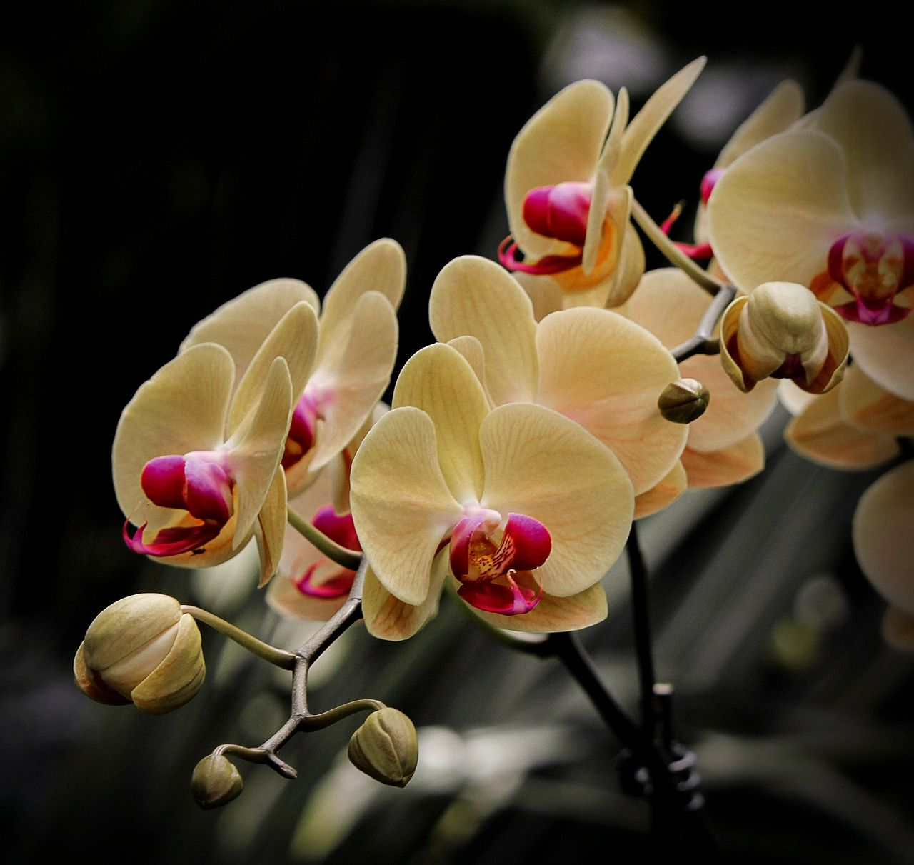 Moth Orchid Of The Genus Phalaenopsis Flowers And Plants