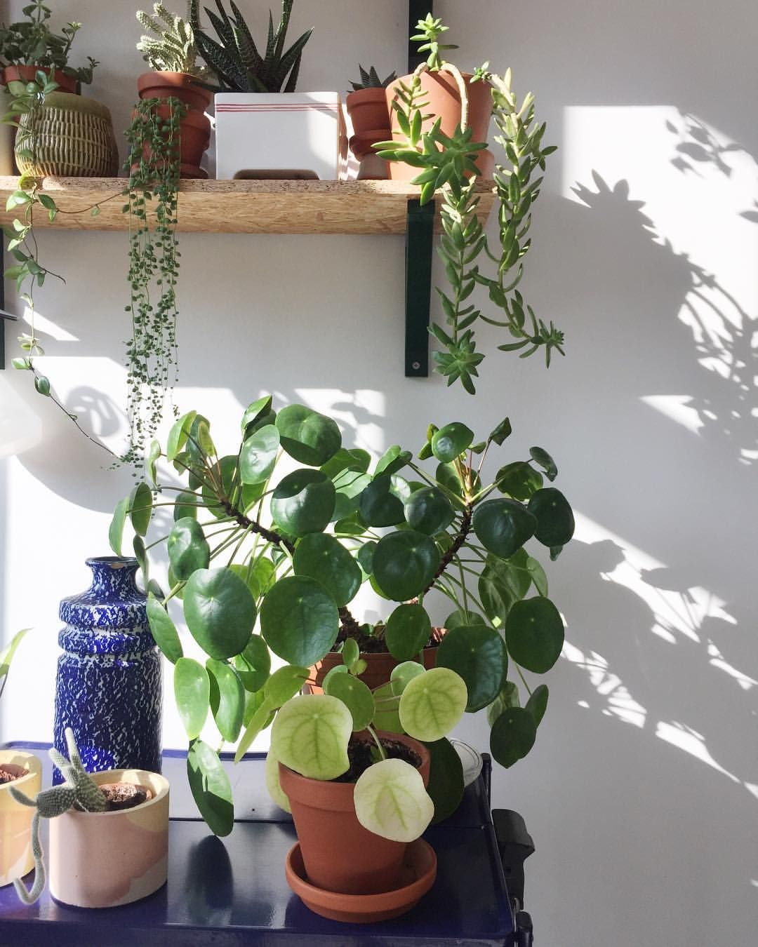 """340 Likes, 3 Comments - The Botanical Room (@thebotanicalroom) on Instagram: """"Sunday-Sunshine-Shadows And big old Pilea with one oh her babies, who is having babies. 3…"""""""