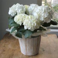 ★フラワーポット [あじさい]  雪のように白いあじさいです。花の手入れが好きなお母さんにぴったりな花鉢のギフトです。カバー付なので、すぐに飾っていただけます。 5,000円(税別)/ 高さ40cm #kusakanmuri