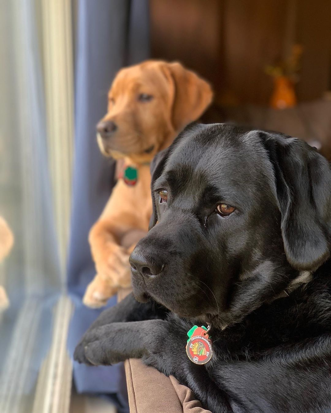 I am A Labrador Owner & In This Page I will Provide labrador retriever puppies labrador retriever facts And labrador retriever training & care #labradorretrieverpuppies