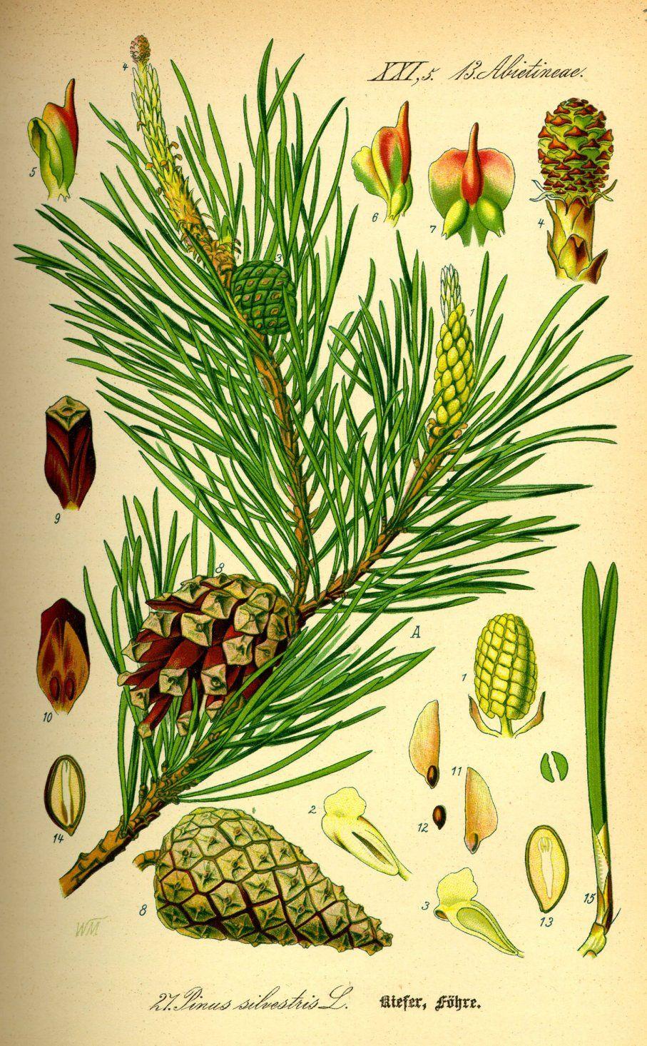 Grove den - Pinus sylvestris | Bachbloesem | Pinterest | Japon