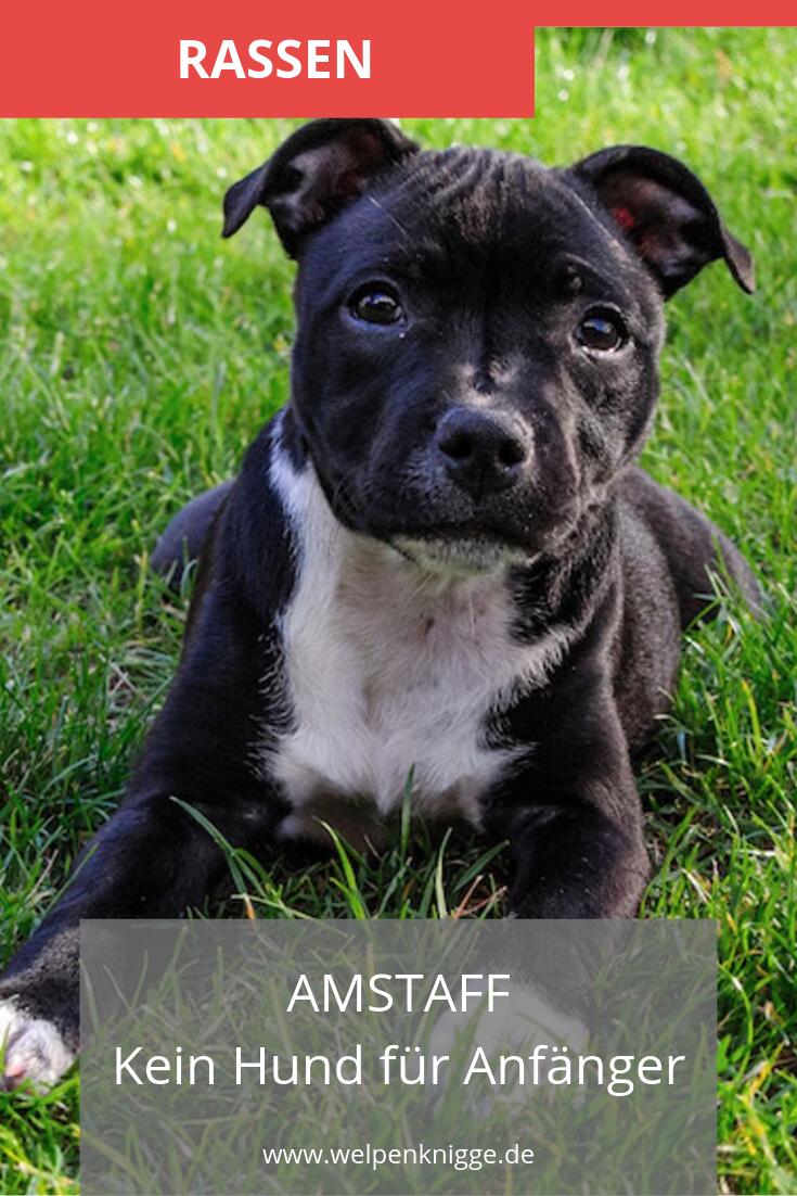 Amstaff American Staffordshire Terrier Welpen Welpen Hunderassen Hunde