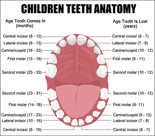 If your child has teeth choosing a toothpaste with fluoride and teeth names diagram anatomy organ 28 images human tooth anatomy chart diagram teeth stock vector anatomy of a tooth structure images gallery anatomy of ccuart Gallery