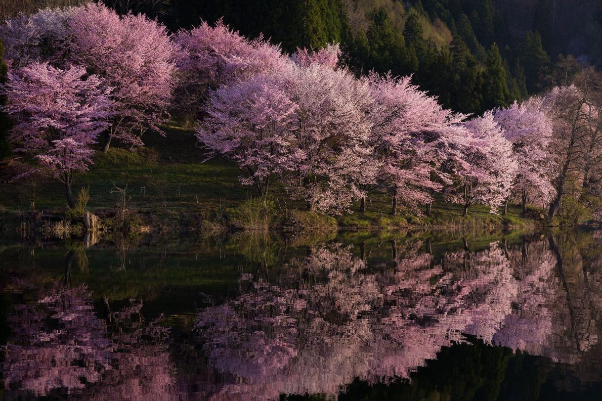 25 photos of cherry blossoms Cherry blossom