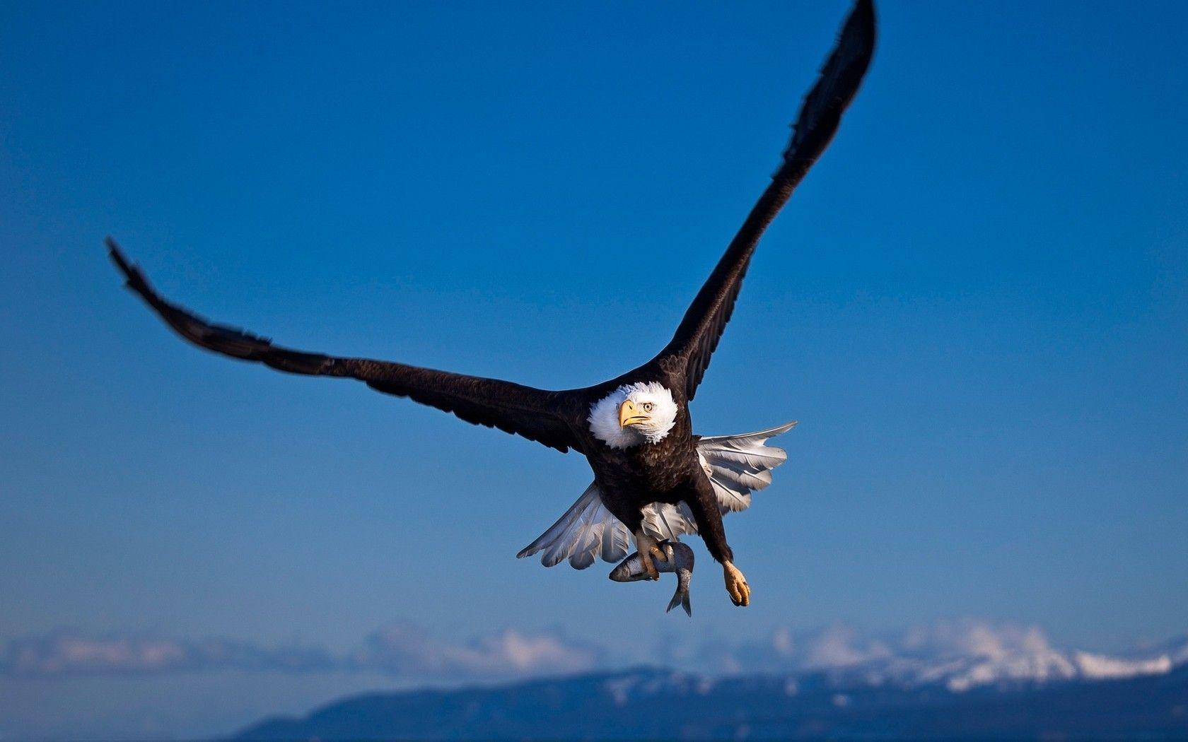 Hd wallpaper eagle - Eagle Wallpaper For Computer