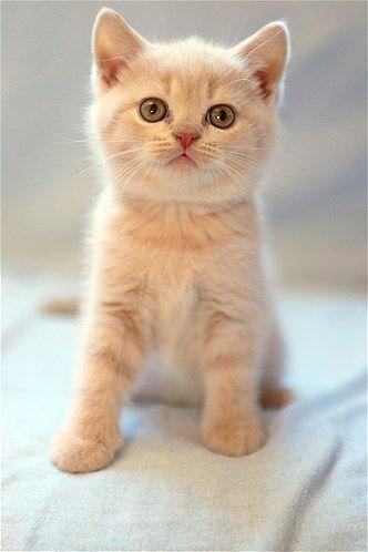Image The British Shorthair Gatos Gatinhos Fofos Gato De Pelo Curto Inglês