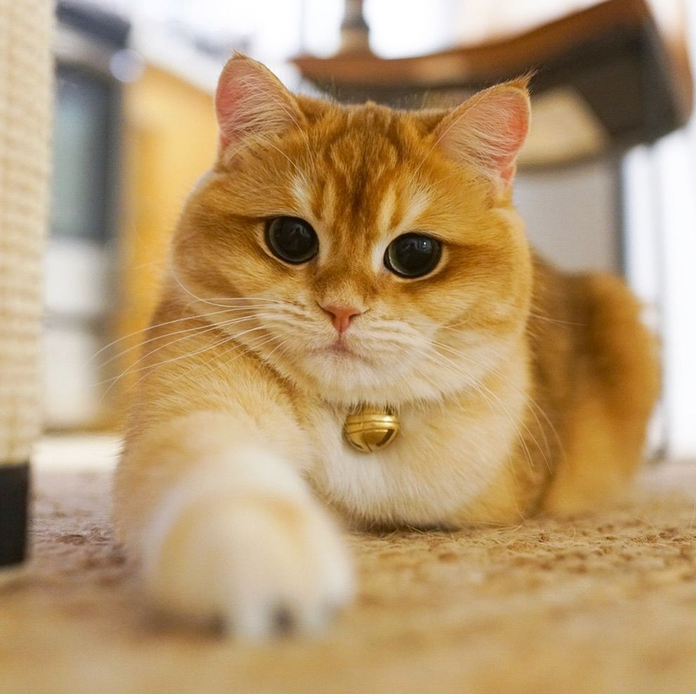 Pisco The Cat On Instagram When I Can Do Things With One Paw I Will Never Use Two Cat Has Fleas Cats British Shorthair Cats