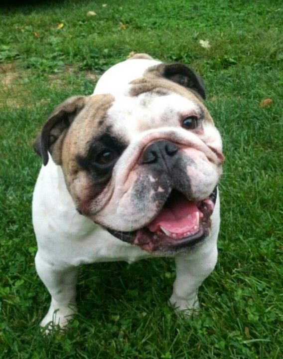 bulldog smiling a big bulldog smile oh my goodness pinterest 8125