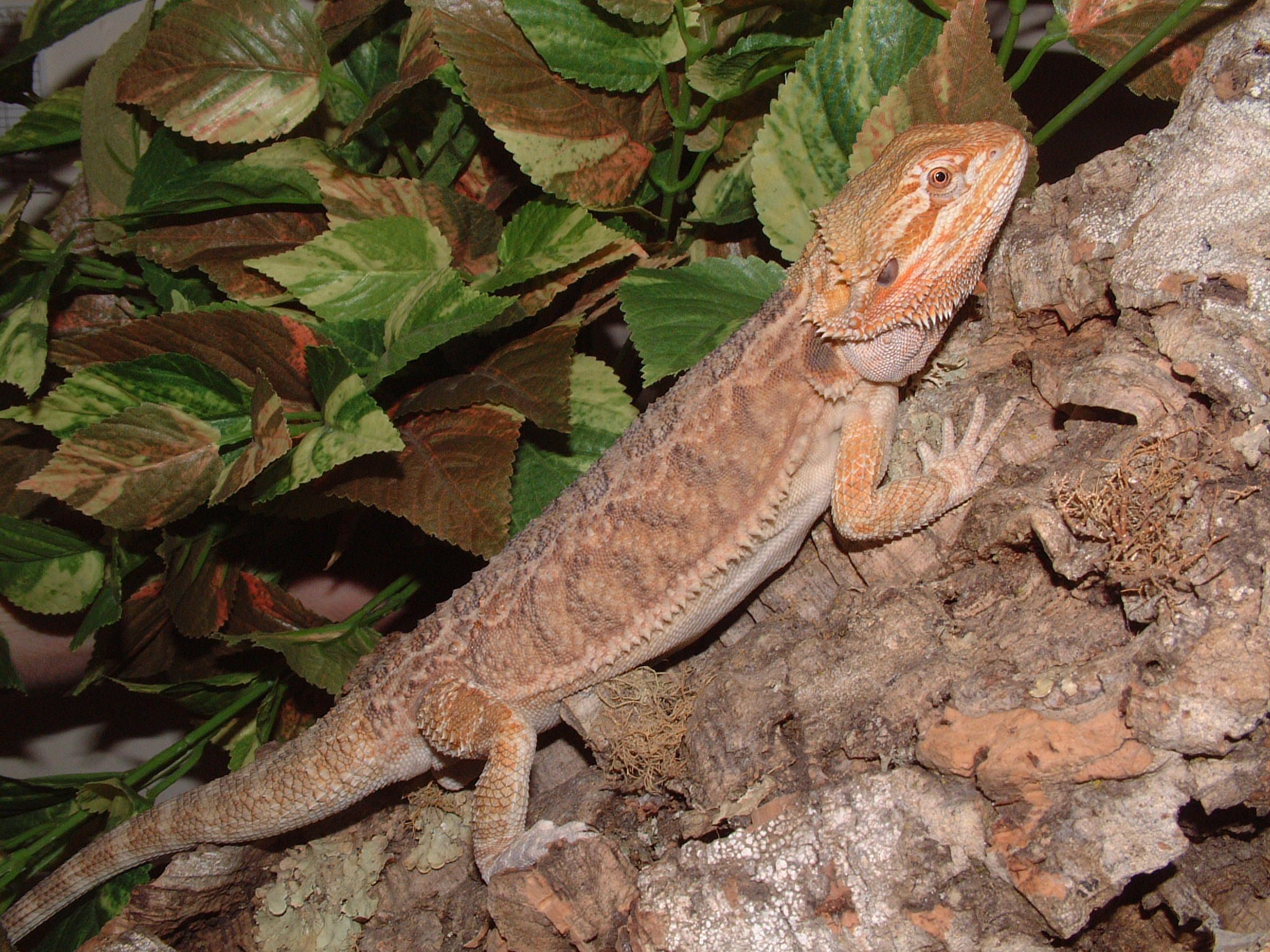 Bearded Dragon At Northampton Reptile Centre With Images