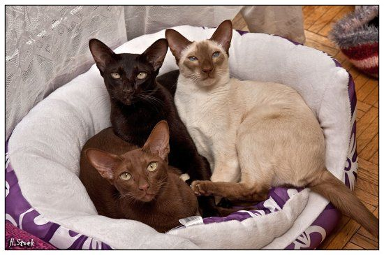 Use Original Size To Have The Best View Oriental Cat Siamese Siamese Cats
