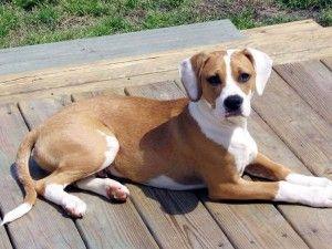 Boxer Beagle Mix Picture And Description With Images Boxer