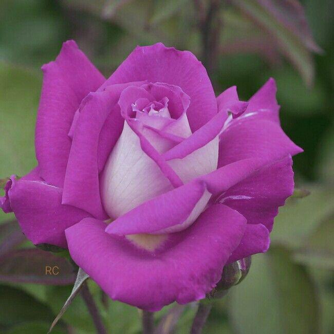 Rosa Bonita Como Mi Amiga Rosa Me Gustaflores Com Pinterest