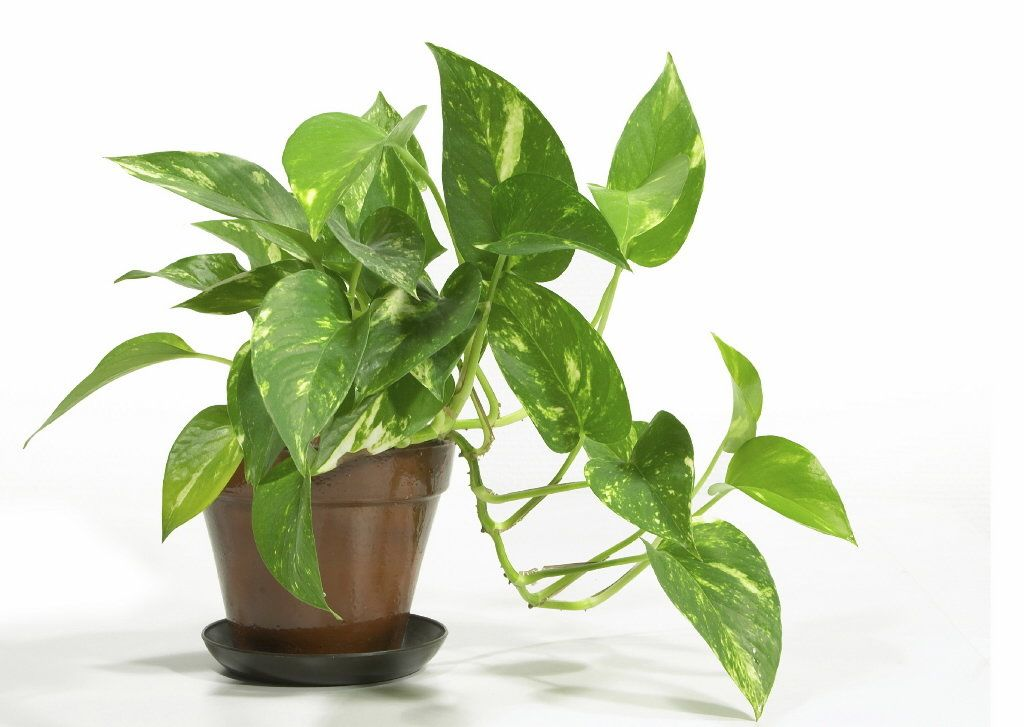 we have several of these in our house easy to grow golden pothos is a popular house plant well known for its long trailing stems