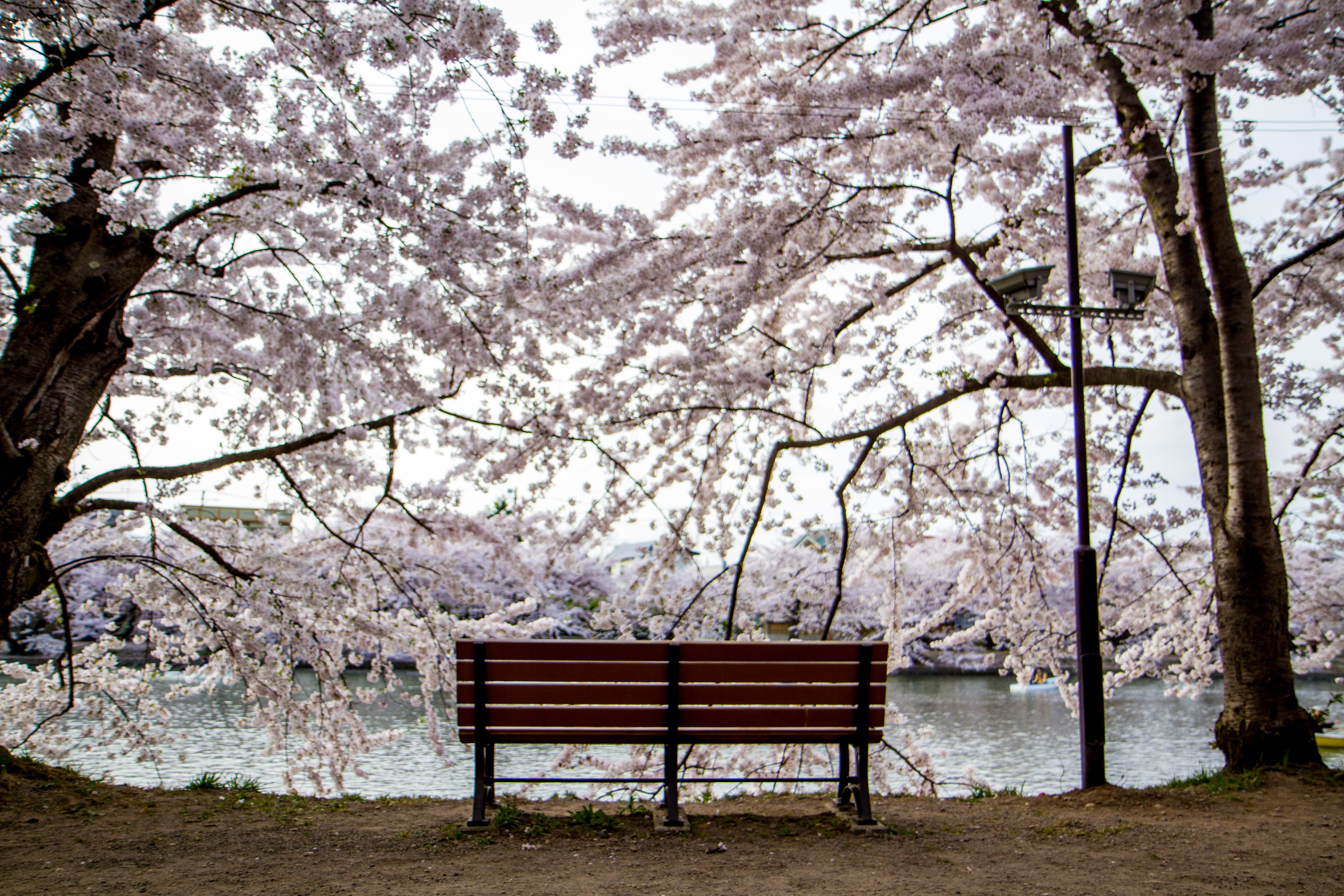 Best Bench To View The Cherry Blossom In Ashino Park In