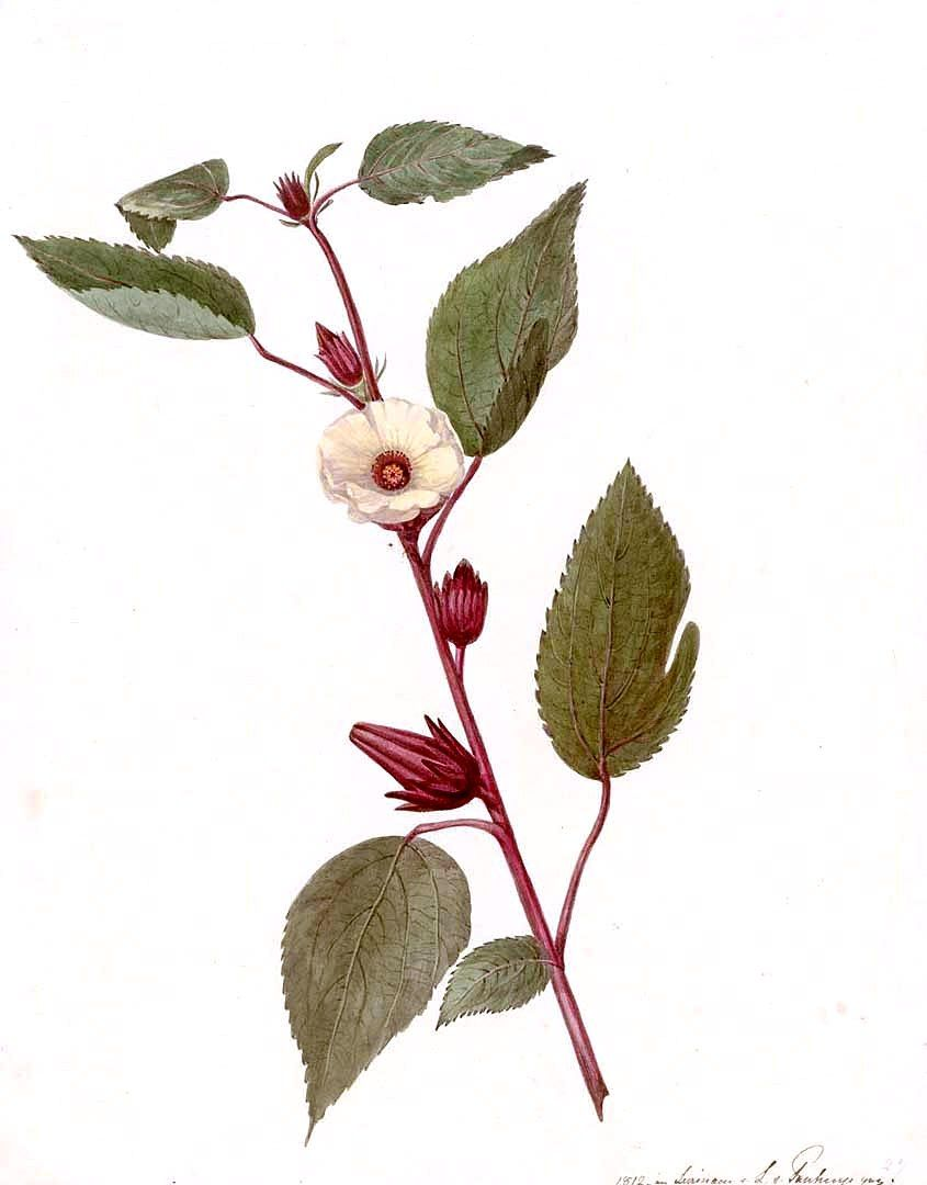 Sudanese rose. Useful properties of the carcade 37