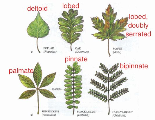 Wildflower Identification Tree Leaf Identification Leaf Identification Tree Identification Chart