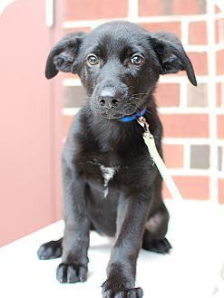 Detroit, MI - Labrador Retriever Mix. Meet Peewee, a puppy for adoption. http://www.adoptapet.com/pet/11809283-detroit-michigan-labrador-retriever-mix