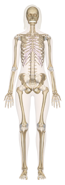 Human Anatomy: Explore the Human Body with our Interactive Guide ...