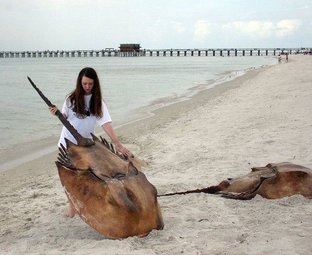 Image result for giant horseshoe crab
