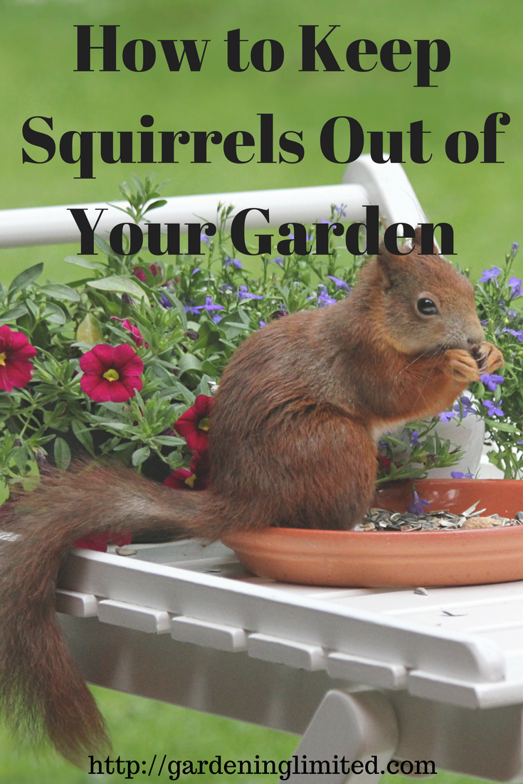 this post tells you what you can do to get rid of squirrels once and for all squirrel squirrels gardens garden - How To Keep Squirrels Out Of Garden