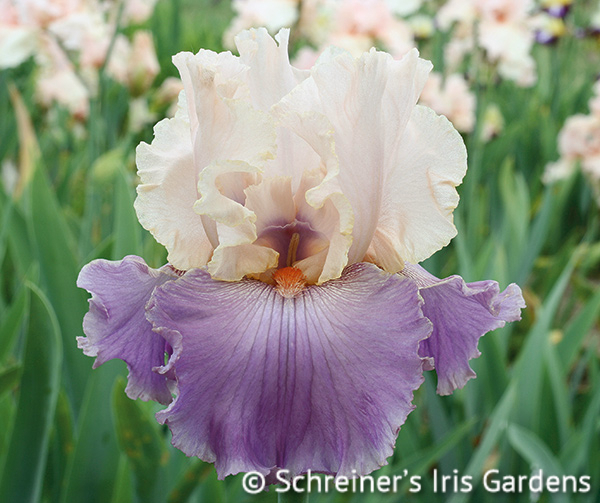 Absolute Crush Tall Bearded Iris Iris Flowers Bearded Iris Iris Garden