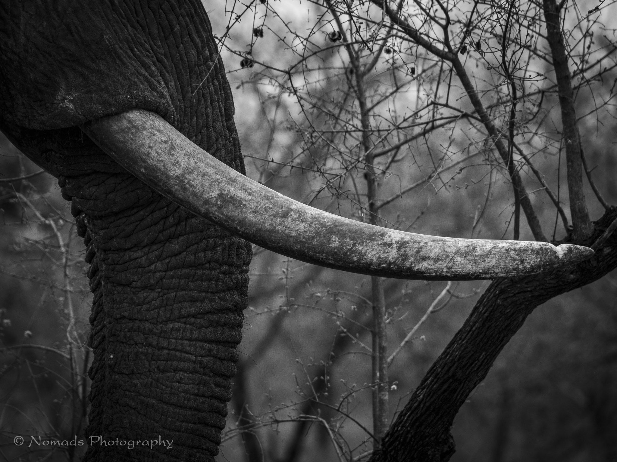 de7117d38 Worn - An elephant s tusks are both a blessing and curse. Blessing because  they give