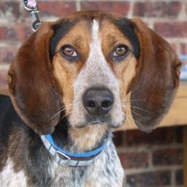 Bluetick Coonhound M Named Sergio In Richmond Va Richmond Spca Dog Adoption