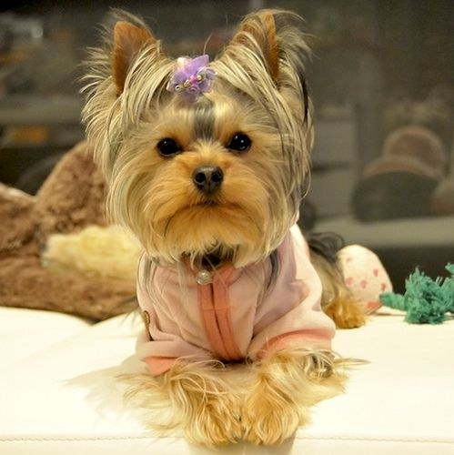 Leia Small Cute Baby Animals Cute Puppies Yorkie