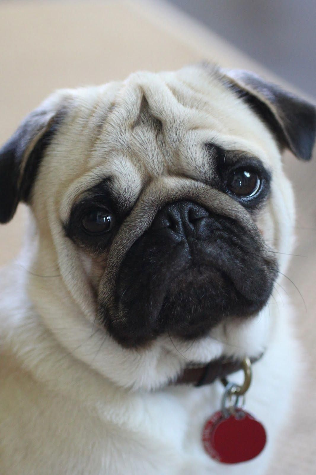 Thank You For Making Me All Better Baby Pug Dog Baby Pugs Cute